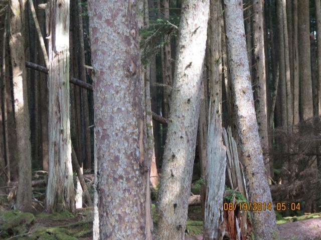 * Dense Frederick Island forest.