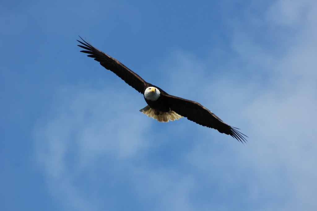* Eagle soaring overheard on a sunny afternoon.