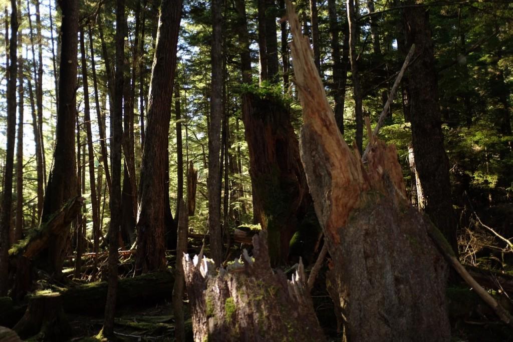 * Ancient Haida Gwaii rainforest.