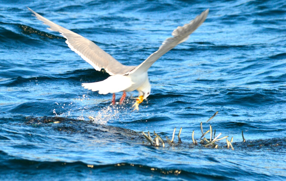 * Great shot of a seagull getting in on the needlefish action.
