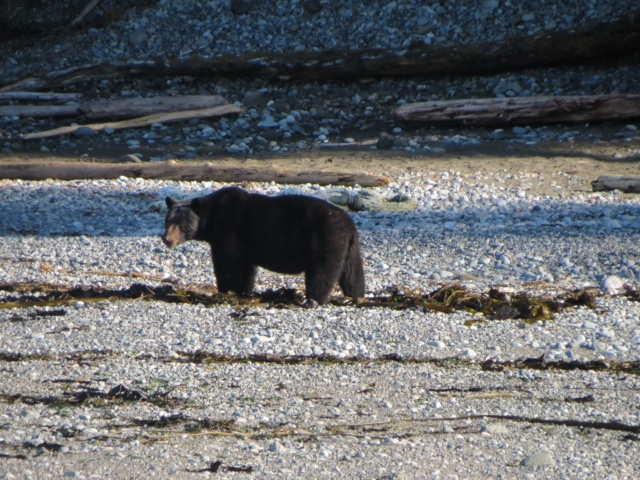 * Black bear spotted on the shores of Graham Island #wishingwewerefishing
