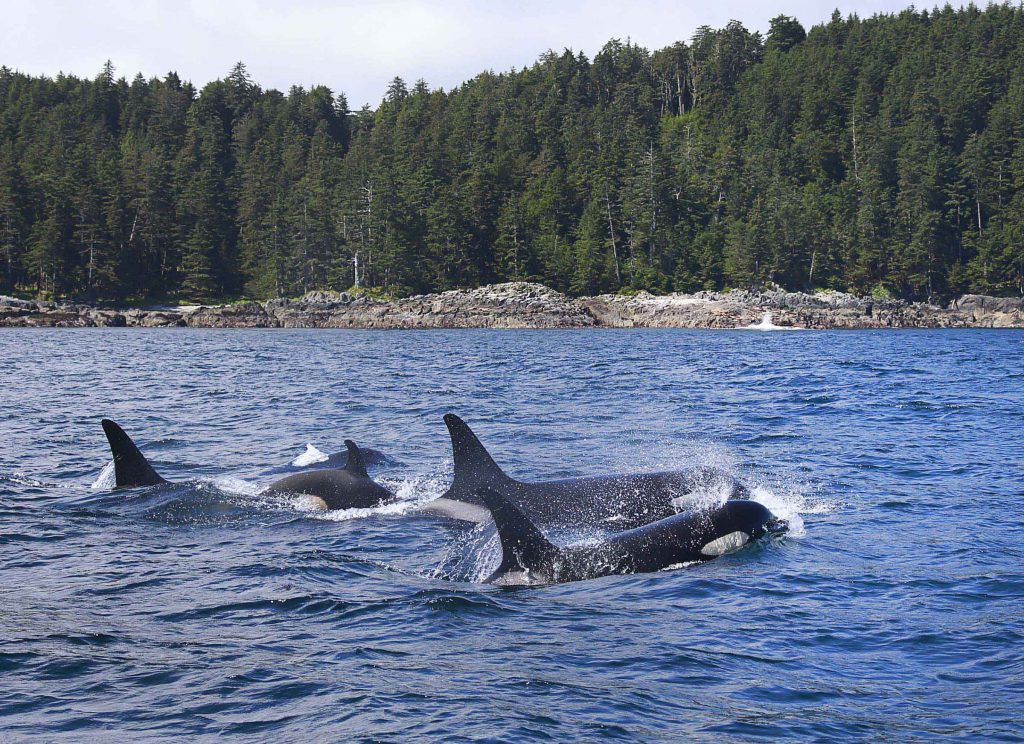 <em>* Orcas passing through on a sunny day. </em
