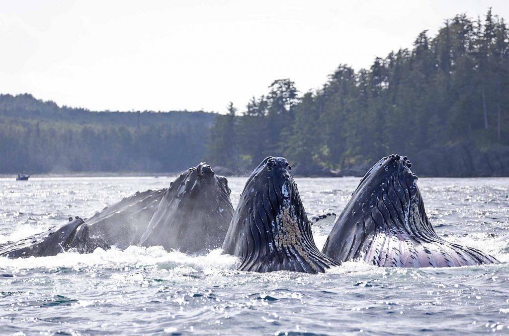 <em>* Whales feeding on the east side. </em>