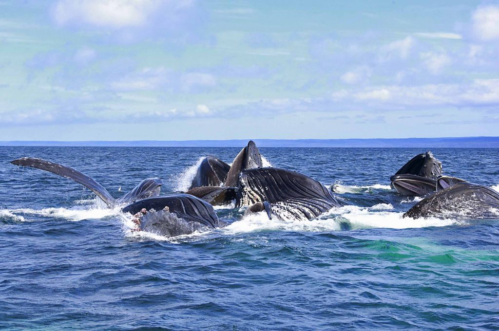 <em>* Believe in lots of humpback whales feeding when the bait is plentiful and the fishing is hot! </em>