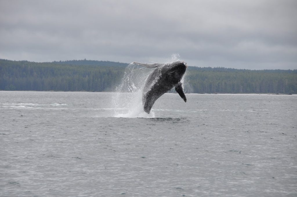 <em>* Humpback putting on a whale of a show for our guests. </em>