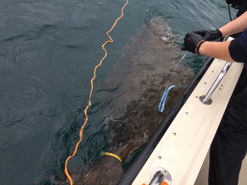 <em>* 90 inches, 7.5 feet of Halibut pulled off the bottom in an epic 53 minute battle. </em>