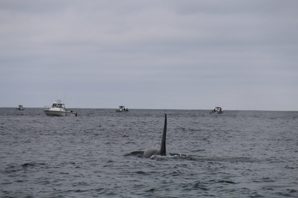 <em>* Bull Orca heading into a pack of boats off Langara Island. </em>