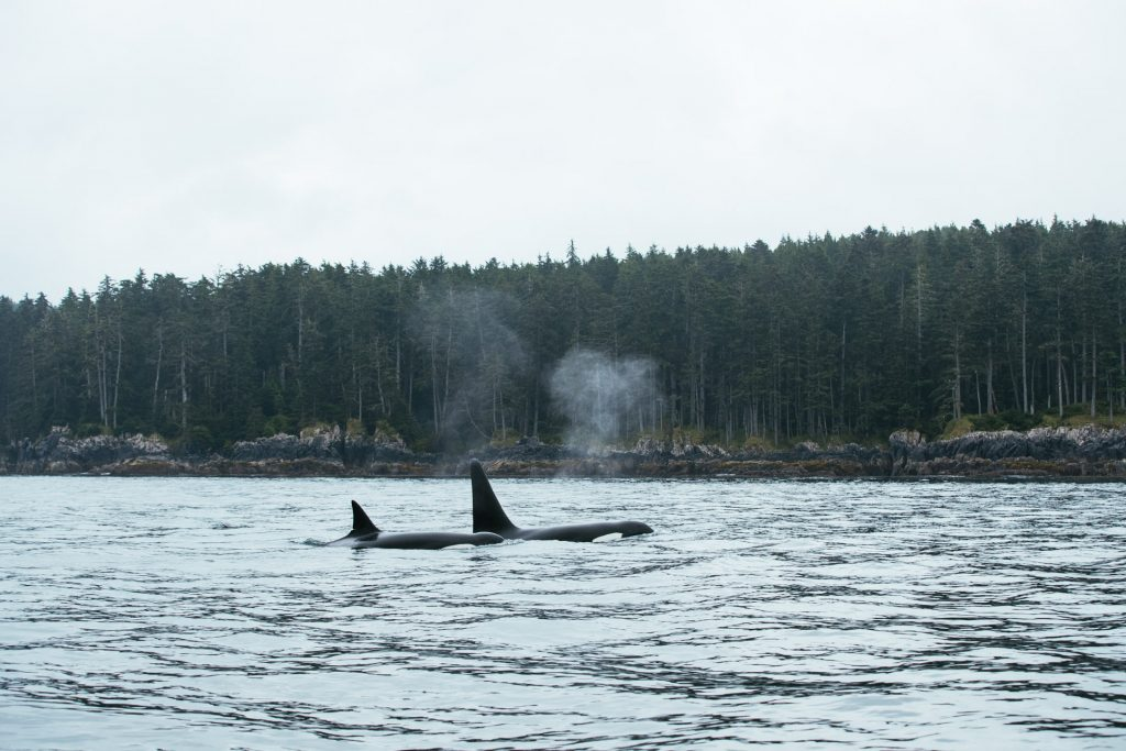 <em>* Orcas passing through. </em>